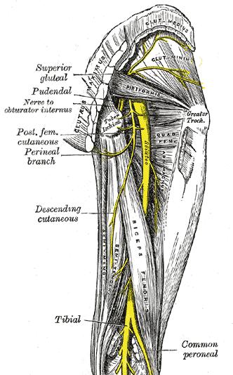 nerf sciatique1