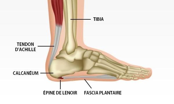 pied-anatomie